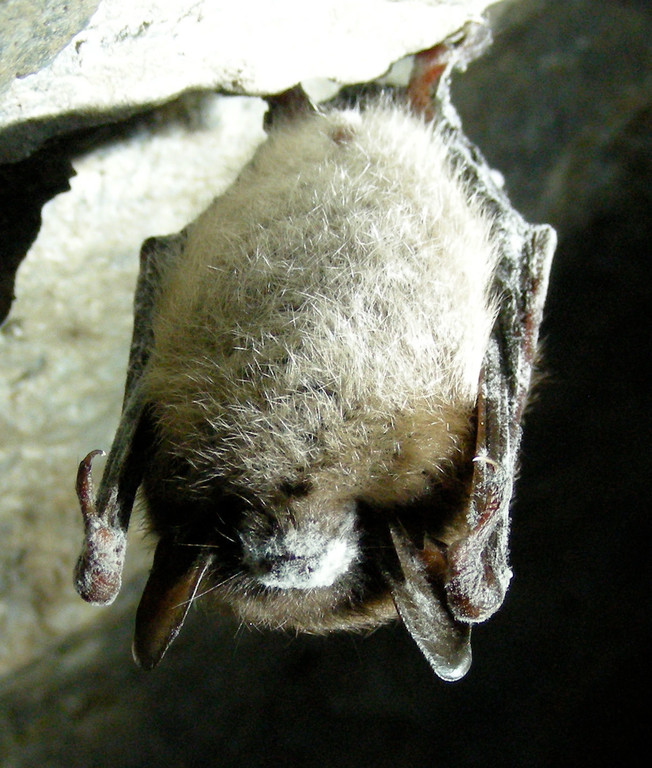 Little Brown Bat with White Nose Syndrome.