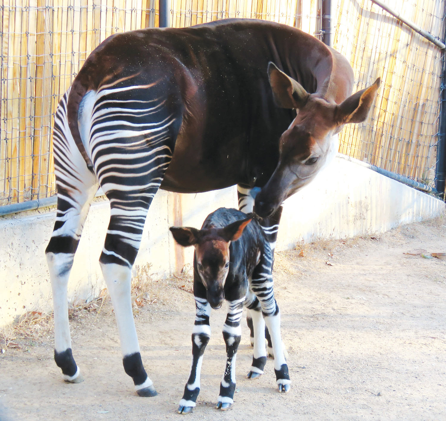 Denver Zoo staff work on Forest, the Denver Zoo's baby Okapi. Forest needed a plasma transfusion shortly after birth.