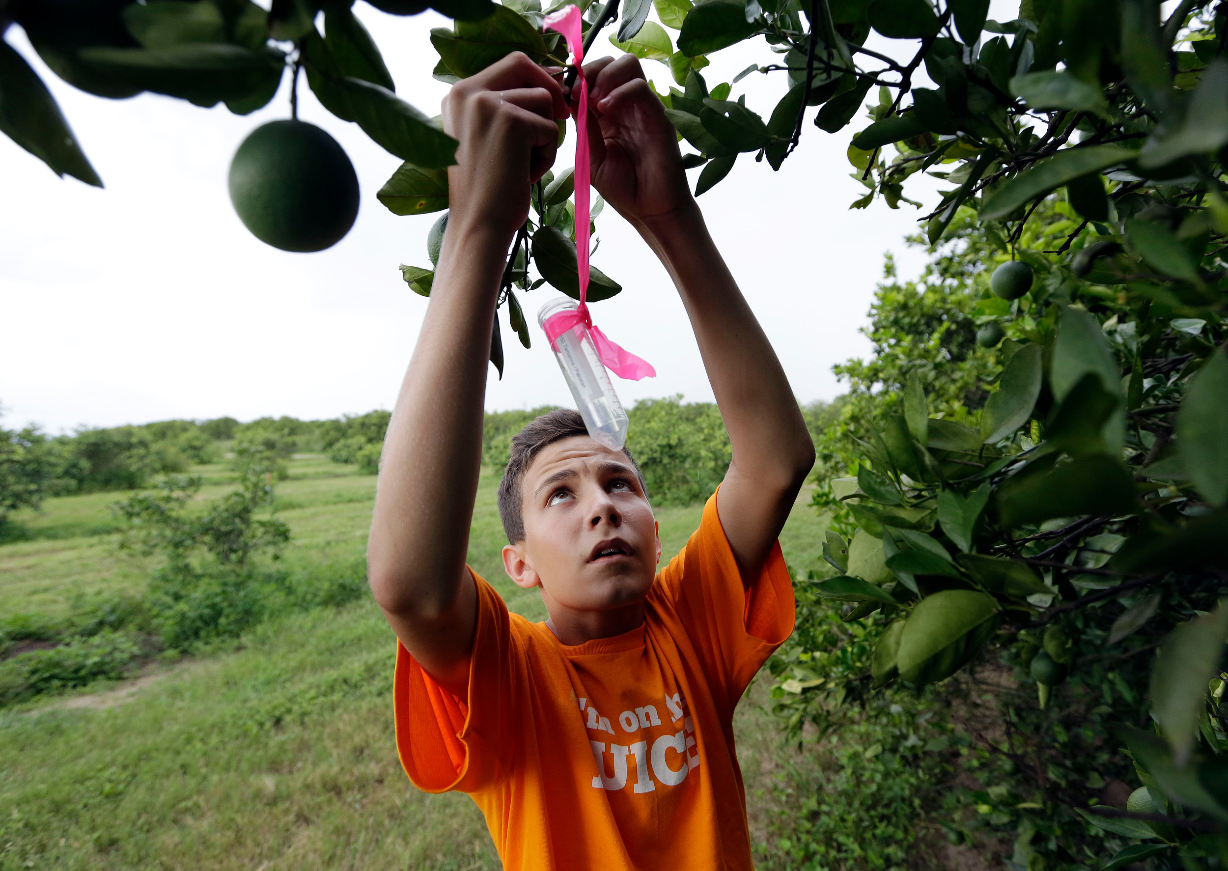 Nick Howell, 13, a member of the McLean family who owns Uncle Matt's organic orange juice company, places a vial   containing the tamarixia wasp July 25 to release in their orange groves in hopes of combating the citrus greening disease in Clermont, Florida.