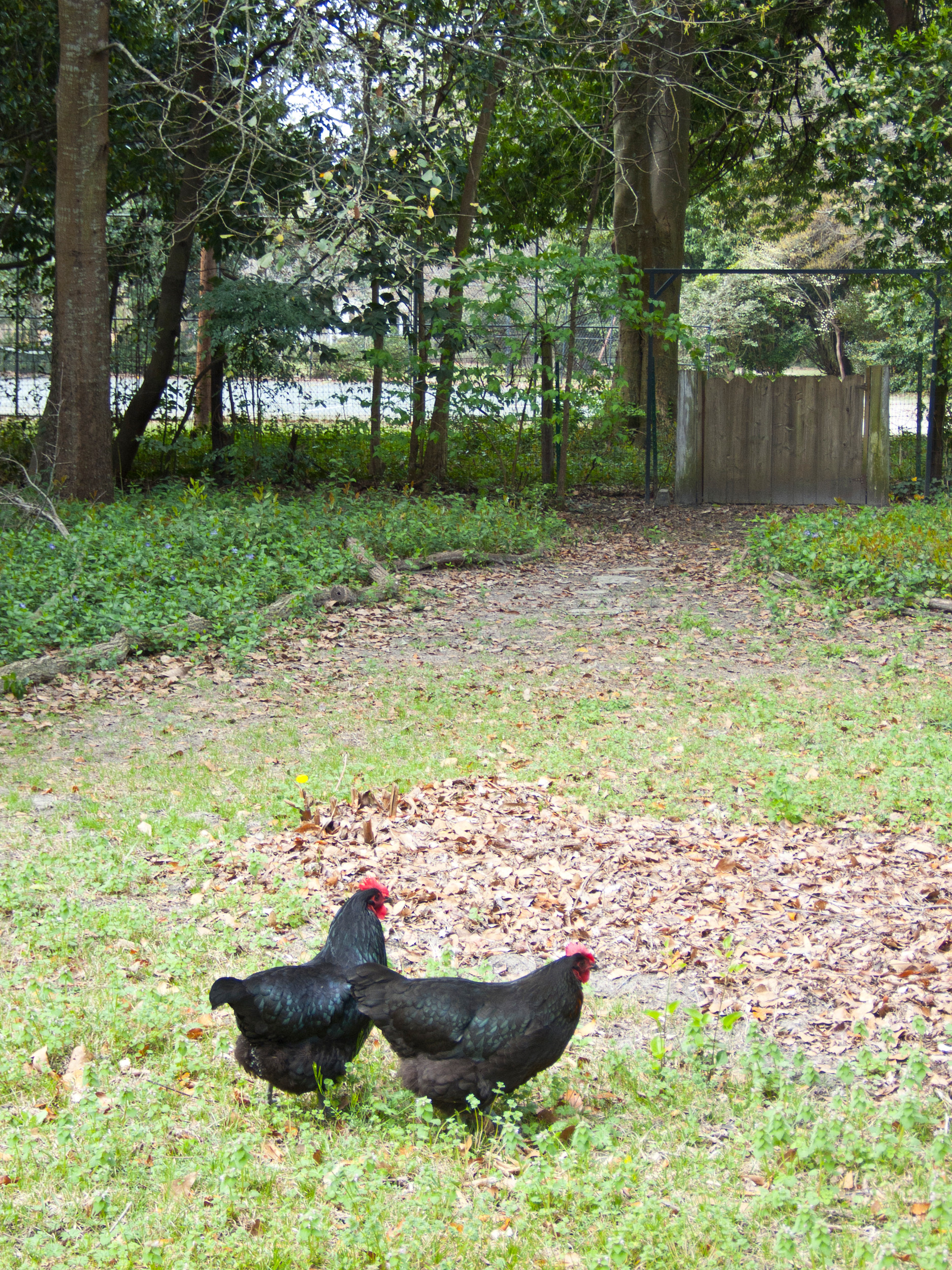help revive an old tradition consider backyard chickens the