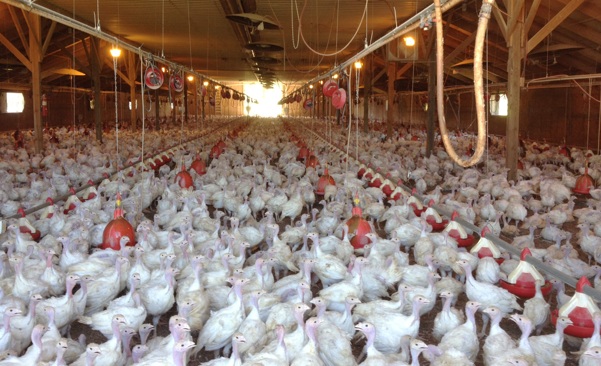 AP FILE PHOTOIn this photo provided by Bethany Hahn is a flock of turkeys at a Minnesota poultry farm.