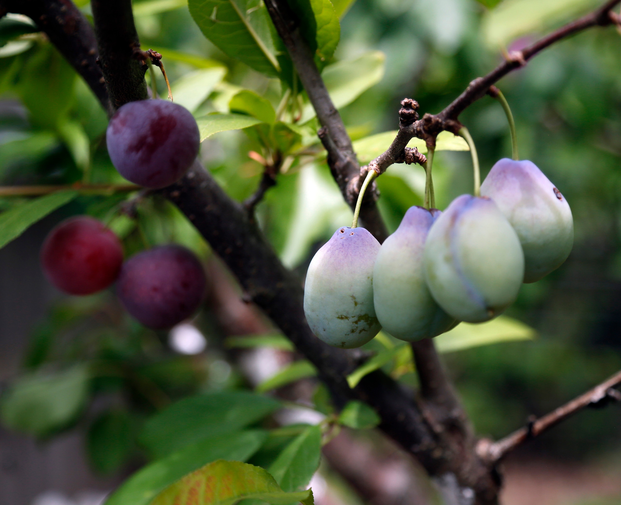 Many fruits stem from artist 39 s grafts the sumter item - Graft plum tree tips ...
