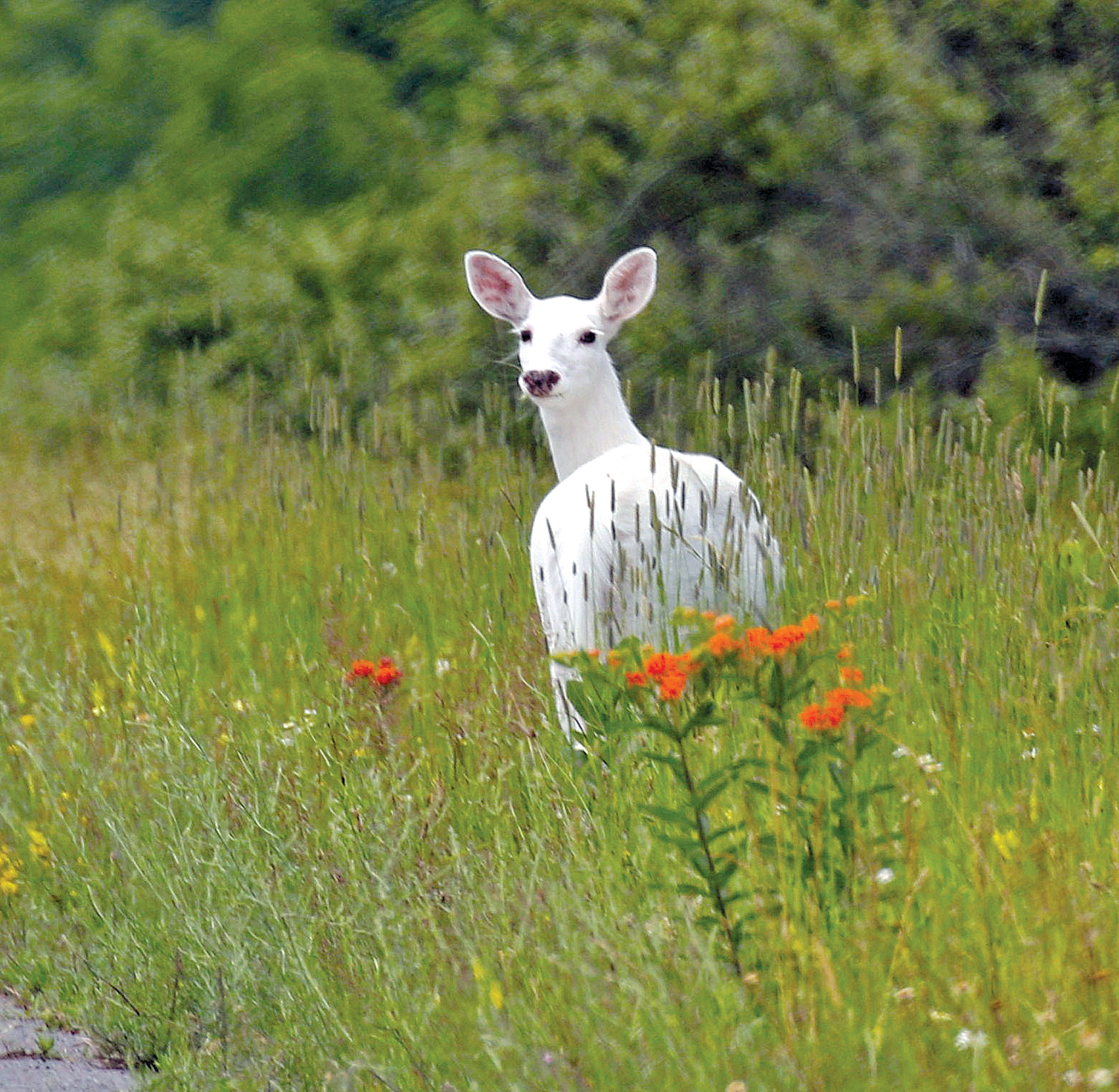 A white deer stands in a field June 28 with orange butterfly weed at the Seneca Army Depot in upstate New York. Public bus tours to view a rare herd of ghostly white deer at a former World War II Army weapons depot are slated to begin fall 2017. The white deer roaming the 7,000-acre Seneca Army Depot in the Finger Lakes have been off-limits to the public for decades, save for glimpses through the surrounding chain-link fence.