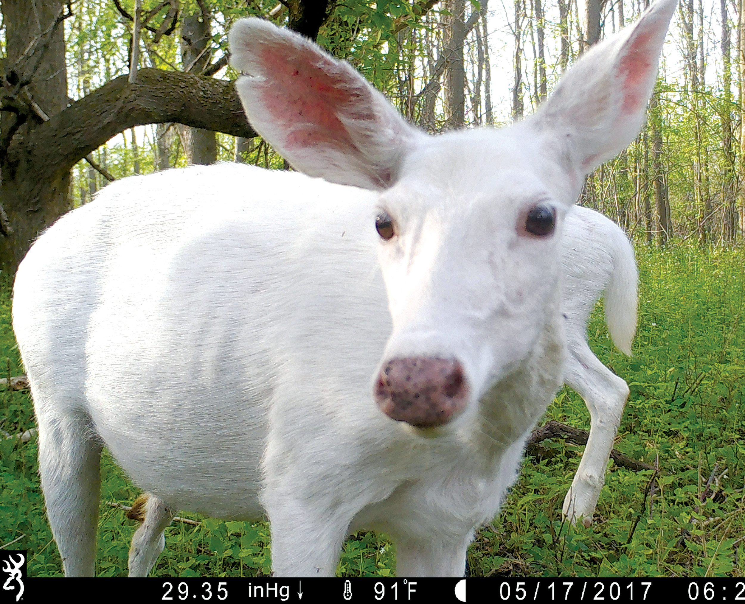White deer captured by a trail camera are seen May 17 at the Seneca Army Depot in upstate New York. Public bus tours to view a rare herd of ghostly white deer at a former World War II Army weapons depot are slated to begin fall 2017.
