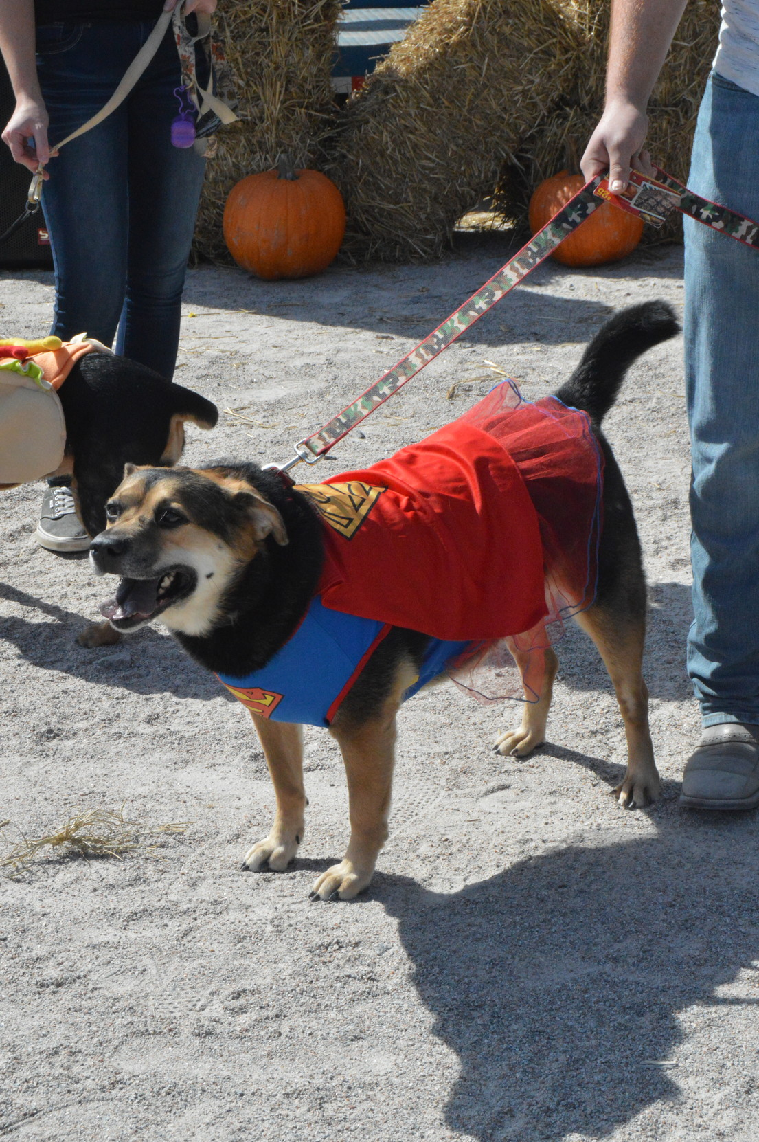 Pumpkin shows off her costume after being named Best Tail Wagger during the second annual Bark in the Park at Dillon Dog Park on Saturday.