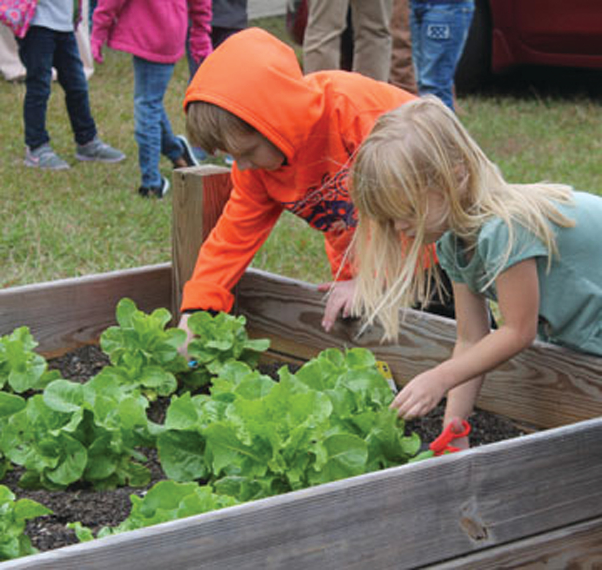 Kindergarten students from Genia Baker and Casey Hilton's class collect lettuce leaves from plants they planted earlier this year.