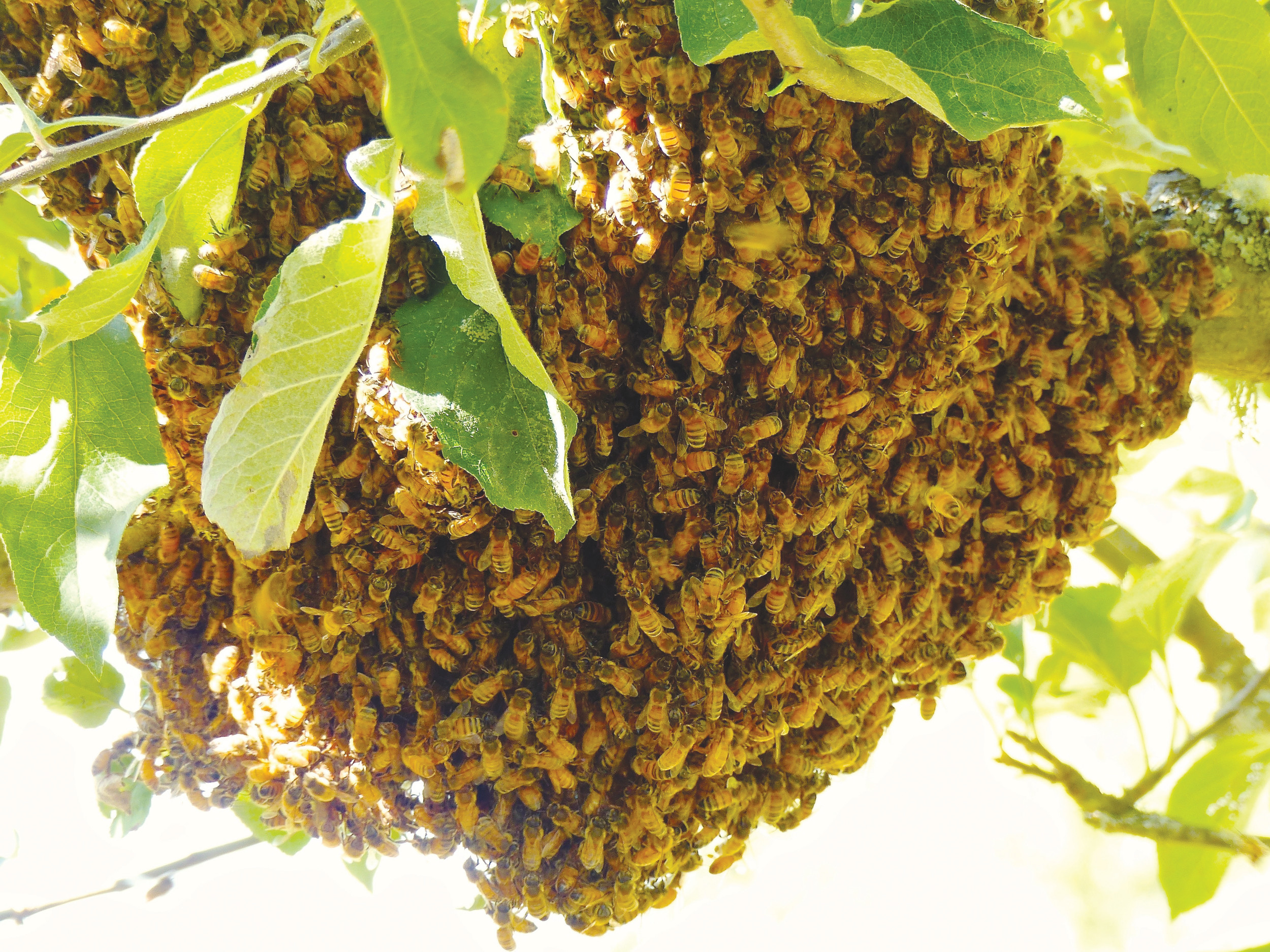 A honeybee swarm cluster is seen gathered on an apple tree near Langley, Washington, in September. Honeybees generally swarm a short distance and then hang out for a short time on tree limbs, stop signs, the sides of houses or perhaps in playgrounds. They can be recovered and installed in new hives if done quickly as was the case with this swarm cluster.