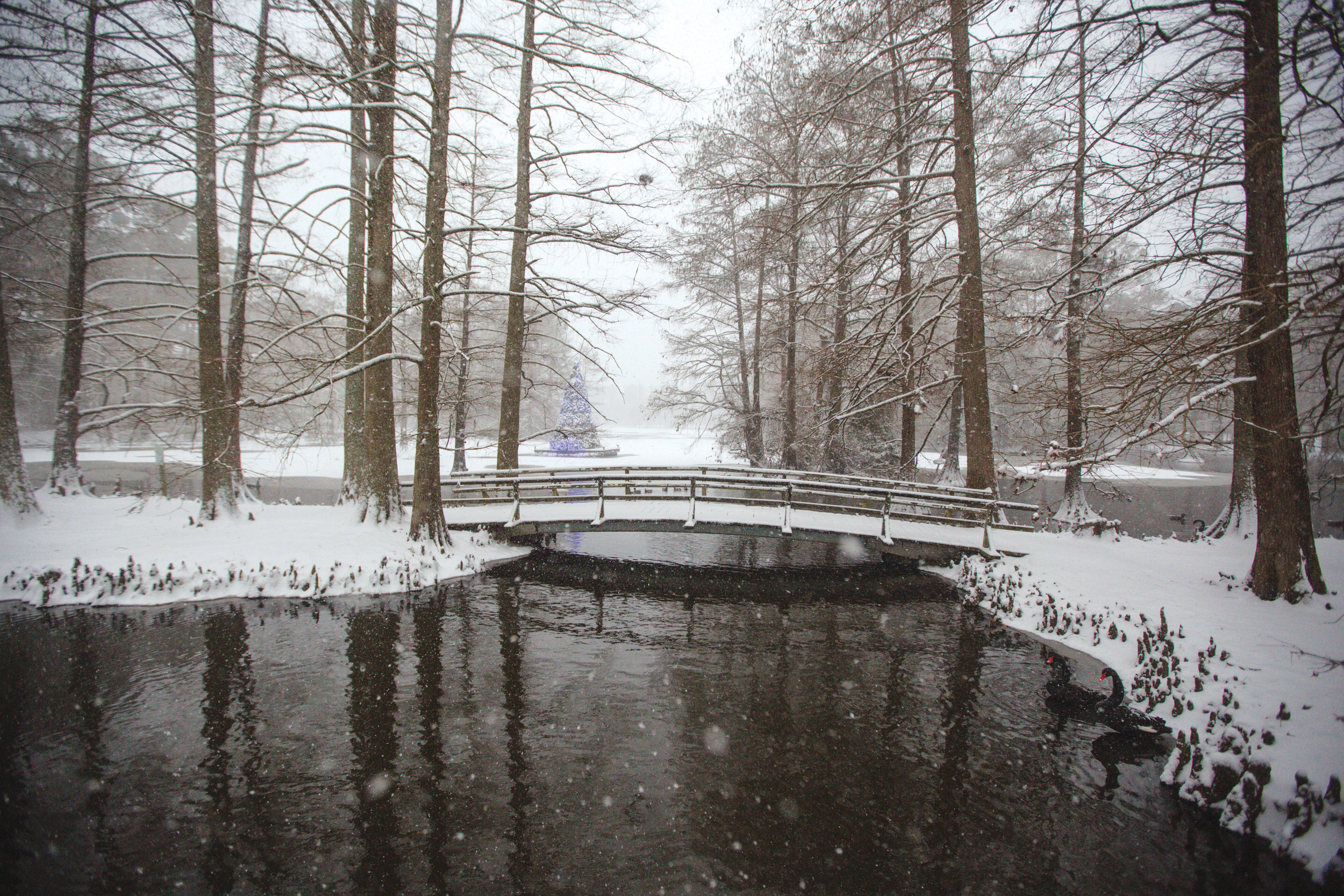 Swan Lake-Iris Gardens is transformed by the snow.