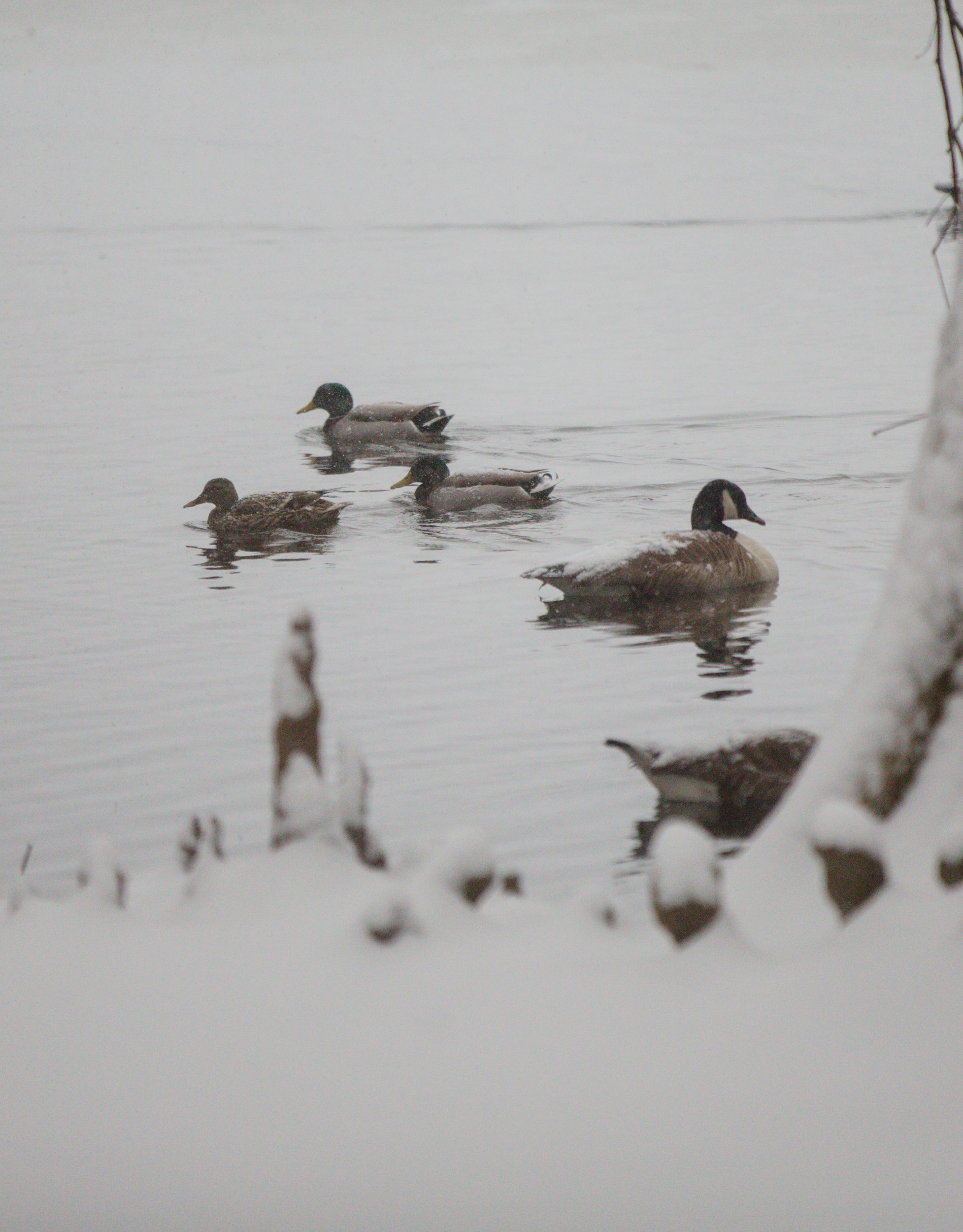 Ducks and a goose swim the frigid waters at Swan Lake-Iris Gardens on Wednesday.