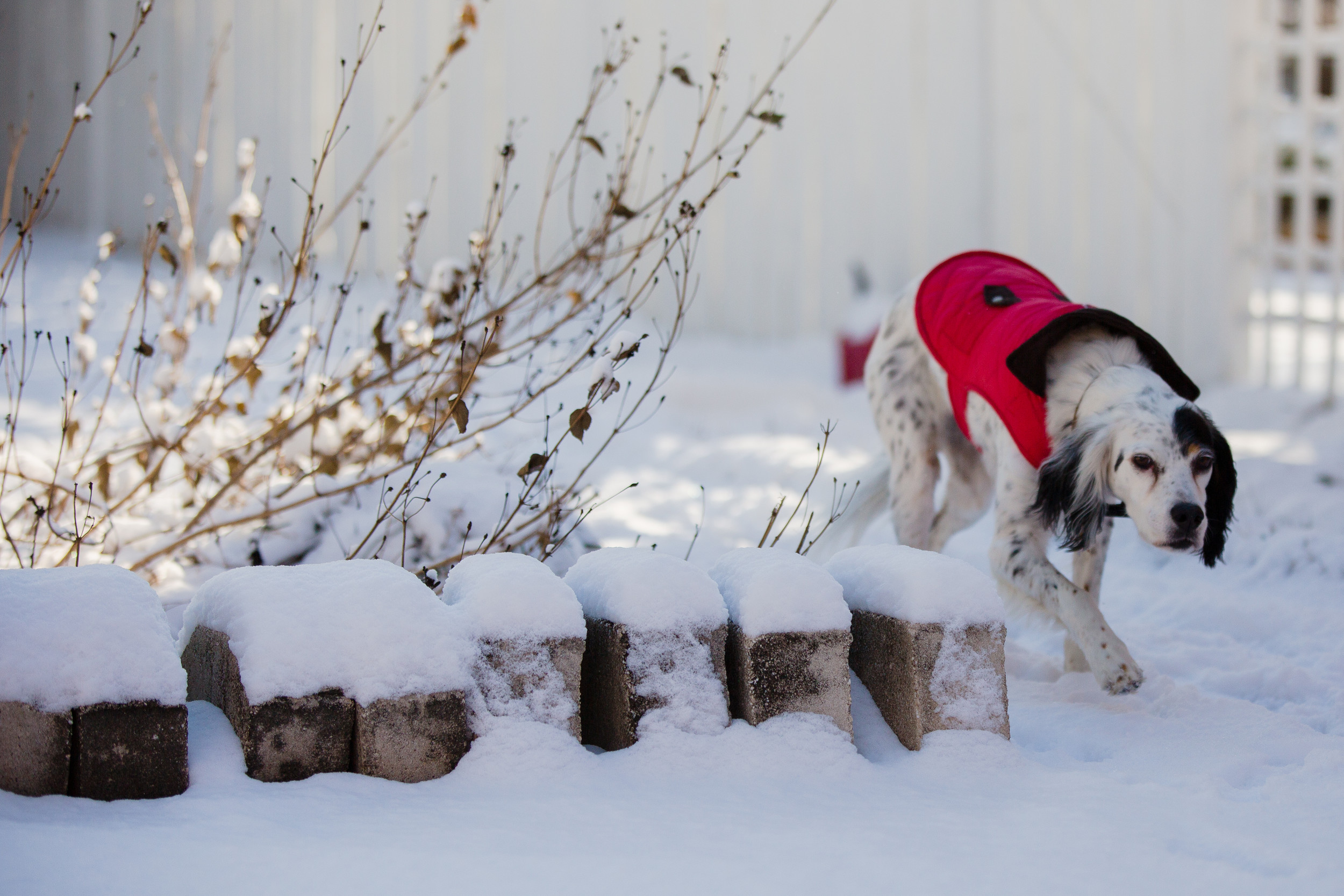 Item Photographer Micah Green's dog, Breeze, an English setter, in her backyard on Thursday morning.