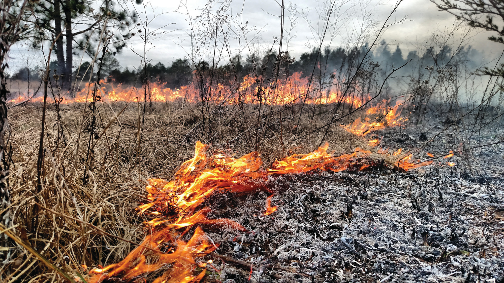 Prescribed fires are typically low intensity and used to achieve specific management objectives. Here, prescribed fire is being used to reduce competition for young planted longleaf pines.