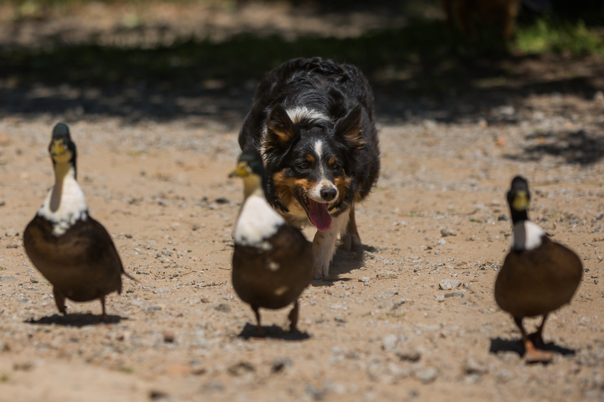 A Border Collie on the farm herds ducks during a demonstration.