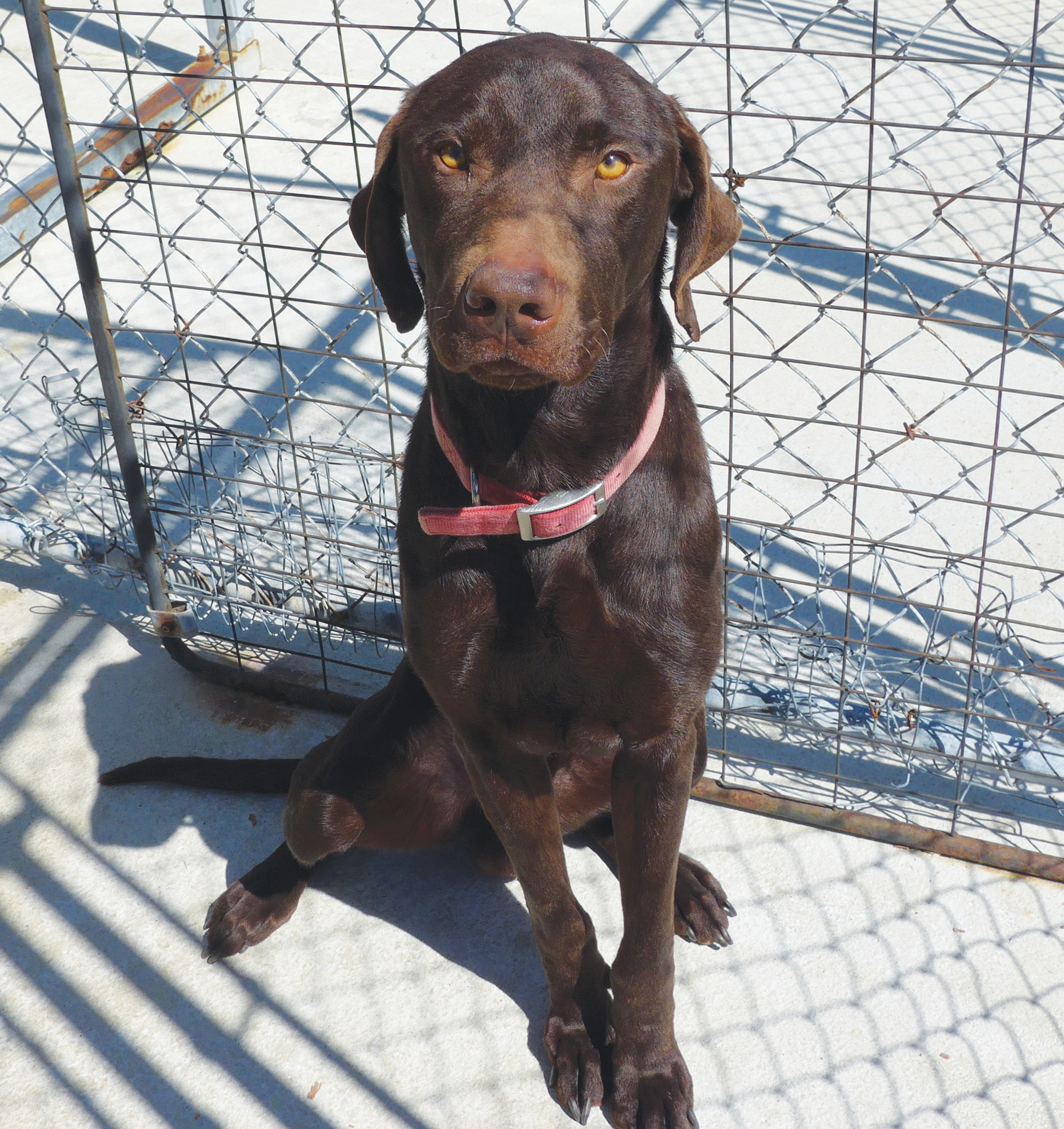 Justin is a 3-year-old male chocolate Labrador/Weimaraner mix. He is a very sweet boy who loves to go for walks. He is picky about what dogs he likes. He is current on his shots, has been neutered and tested negative for heartworms. If you have a lot of time to give to this boy, come out and see if he is a fit for you.