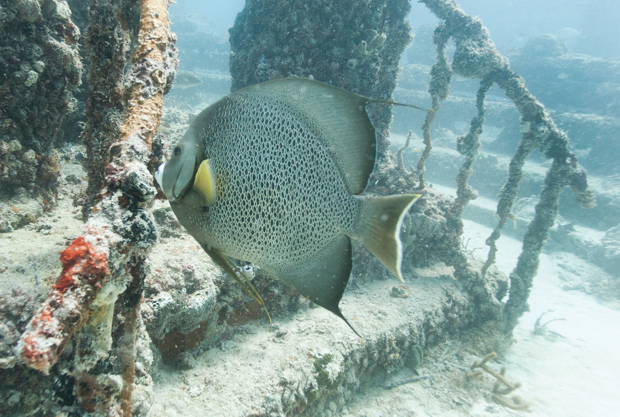 A large gray angelfish swims near a stairway at the reef.