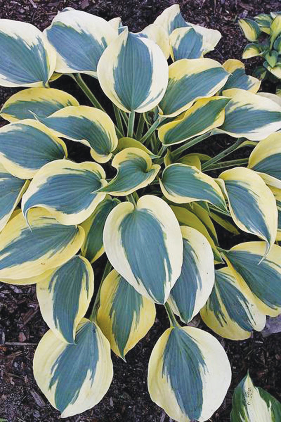 Enjoy watching hummingbirds in your garden when you plant a stunning Hosta `Autumn Frost. This plant features thick powder-blue leaves with exceptionally wide creamy yellow.