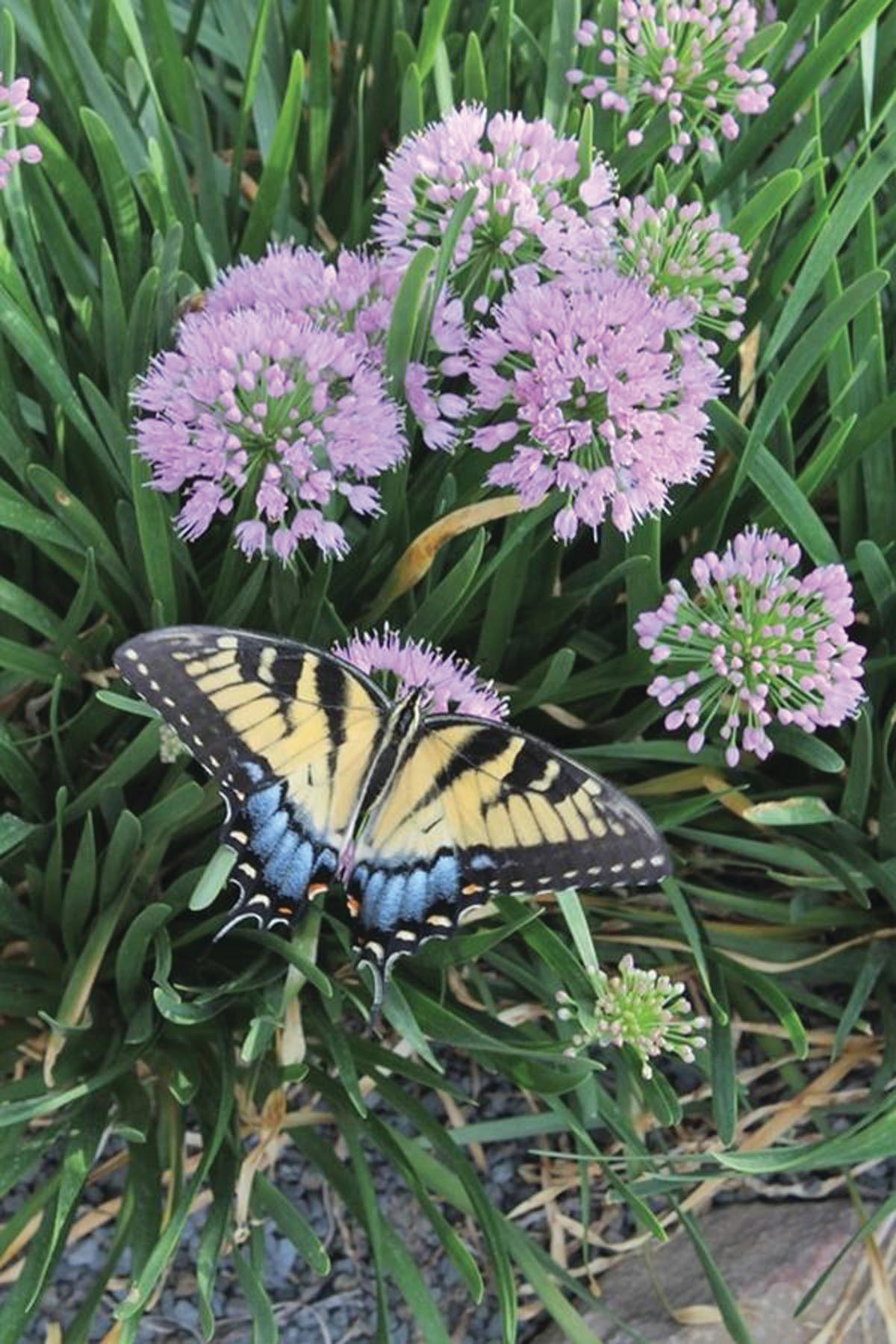 PHOTOS PROVIDEDOnion-loving butterflies will flock to your garden when you plant the 2018 Perennial Plant of the Year, the Millenium Flowering Onion. This plant features a wide clump of narrow, glossy green, deer-resistant leaves which is topped for more than a month in late summer with 2-inch rosy-purple flower heads.