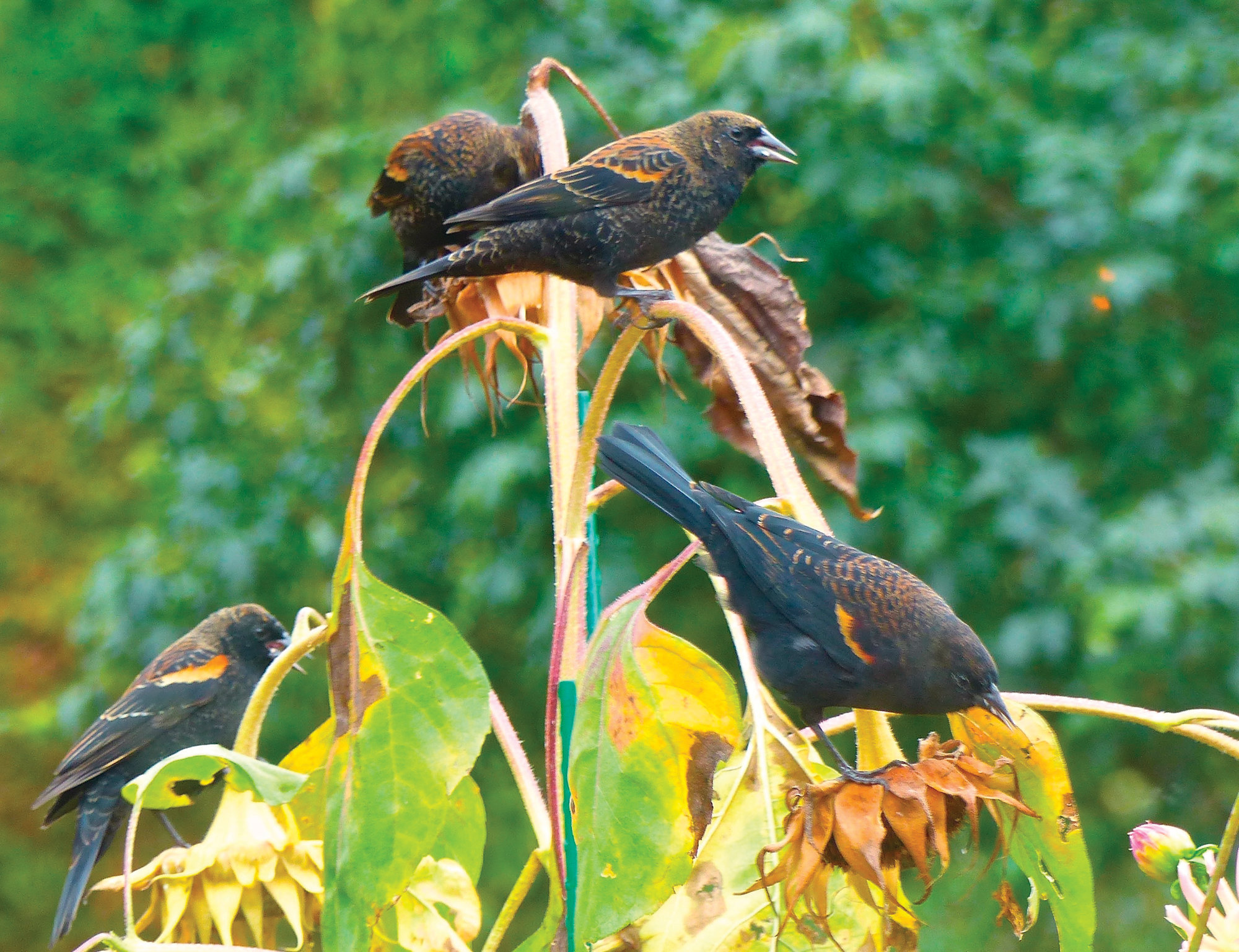 Blackbirds in Langley, Washington, feed from sunflower seed pods in a residential garden. A variety of landscape plants are important when creating wildlife habitat.