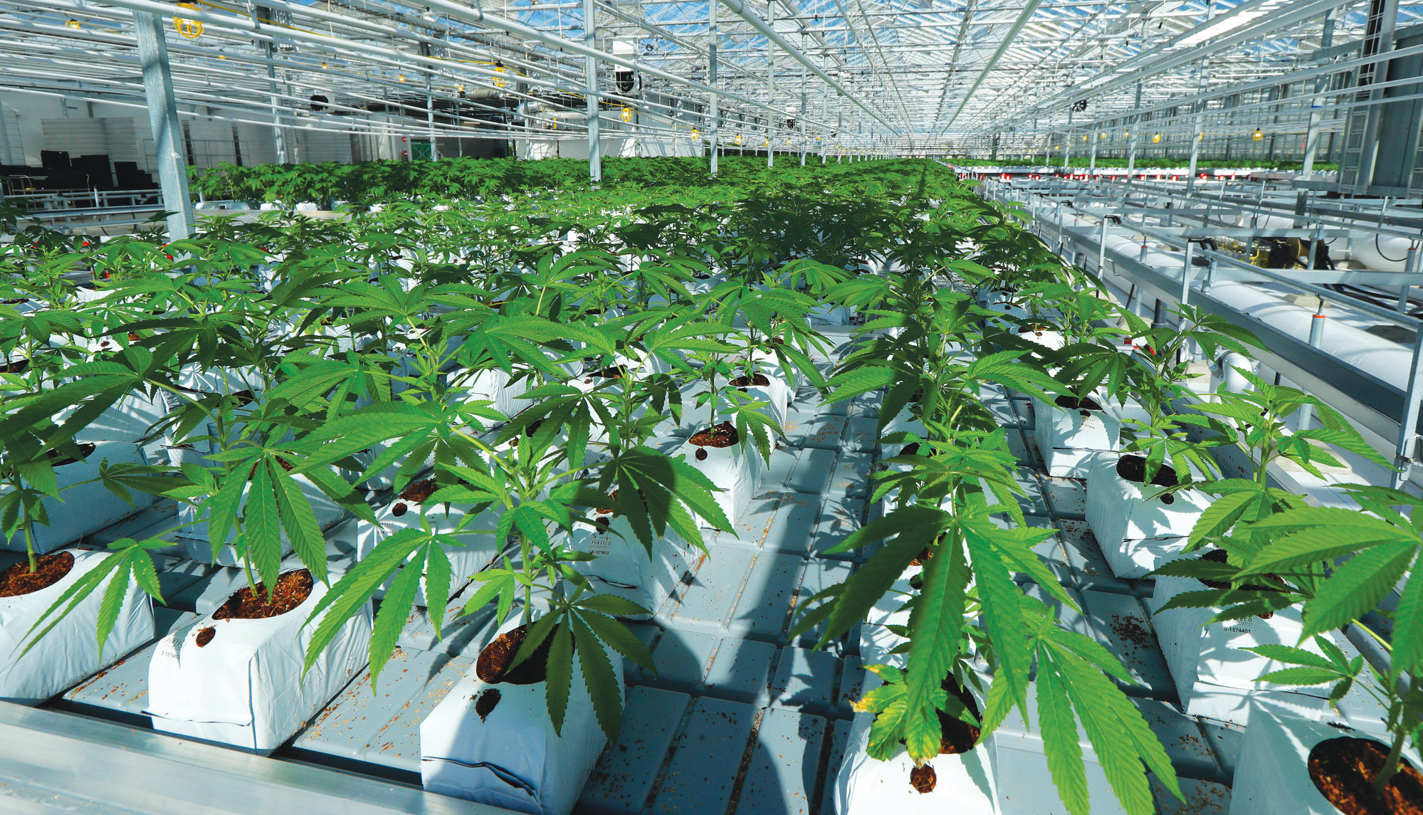 THE ASSOCIATED PRESSMarijuana plants are shown growing in a massive tomato greenhouse being renovated to grow pot in Delta, British Columbia, that is operated by Pure Sunfarms, a joint venture between tomato grower Village Farms International and a licensed medical marijuana producer, Emerald Health Therapeutics. On Oct. 17, Canada will become the second and largest country with a legal national marijuana marketplace.