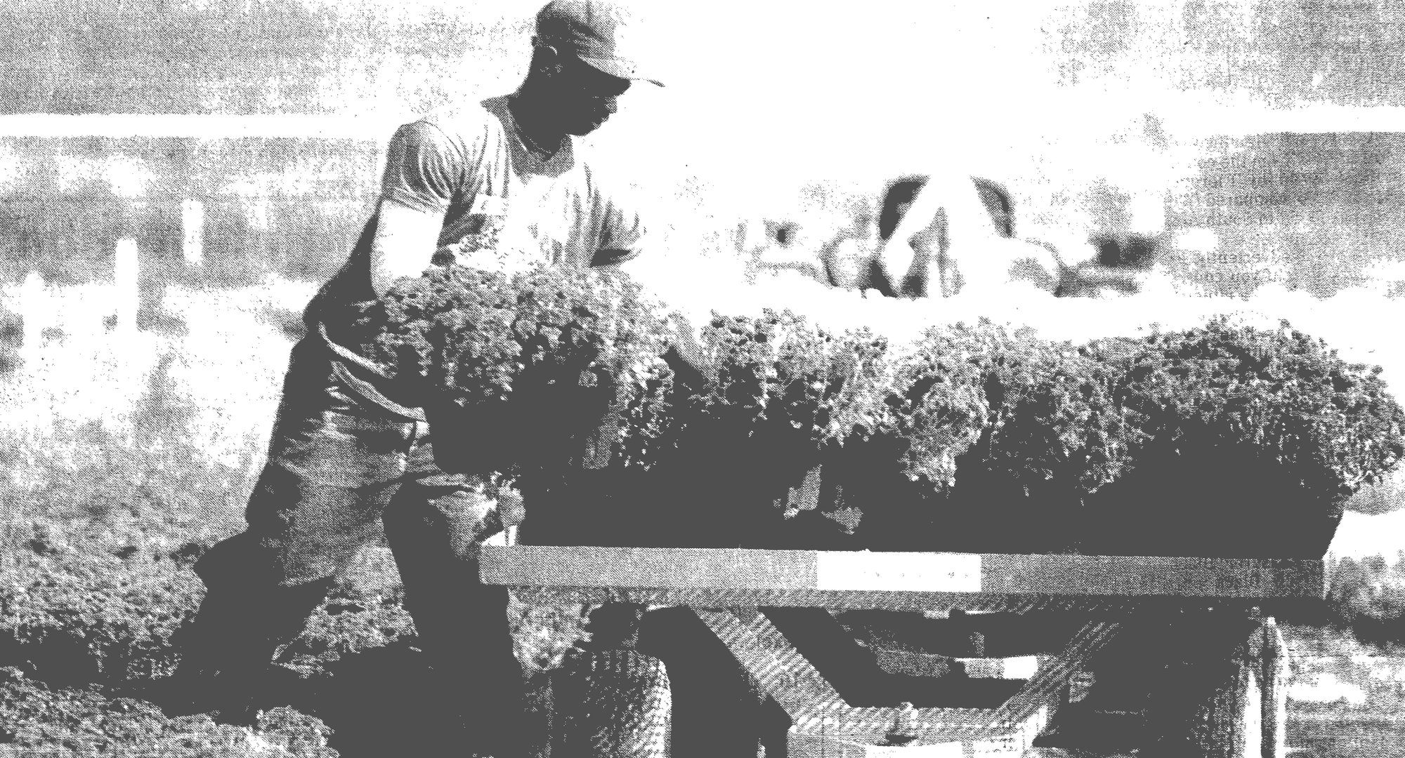 1993 - Peter Huggins of Briggs' Nursery Inc. in Summerton loads mums onto a trailer. The fall flowers were being shipped to the state farmer's market. Briggs' Nursery is the biggest wholesale greenhouse operation in South Carolina.
