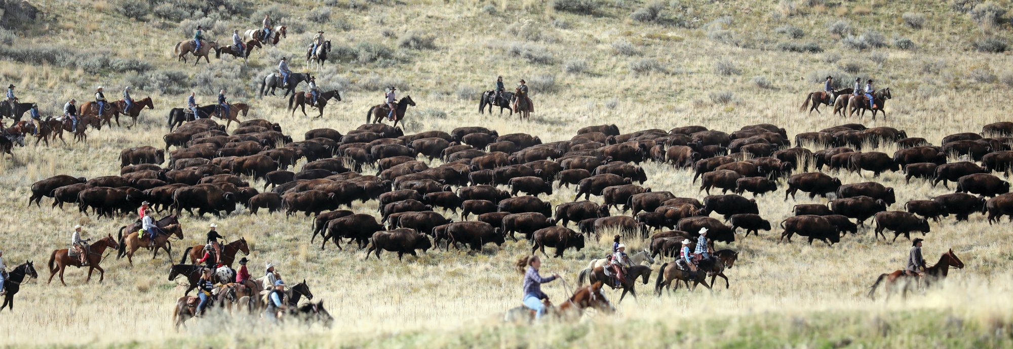 Riders on horseback herd bison during an annual roundup in October on Antelope Island, Utah. Utah State Parks workers move the animals from across the island so they can be weighed, tagged and given health checkups.