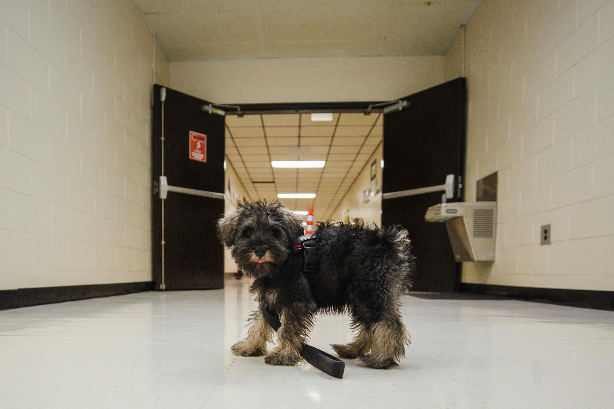 Bantam, Bates Middle School's new therapy dog, poses for his photo in the hallway on Friday.