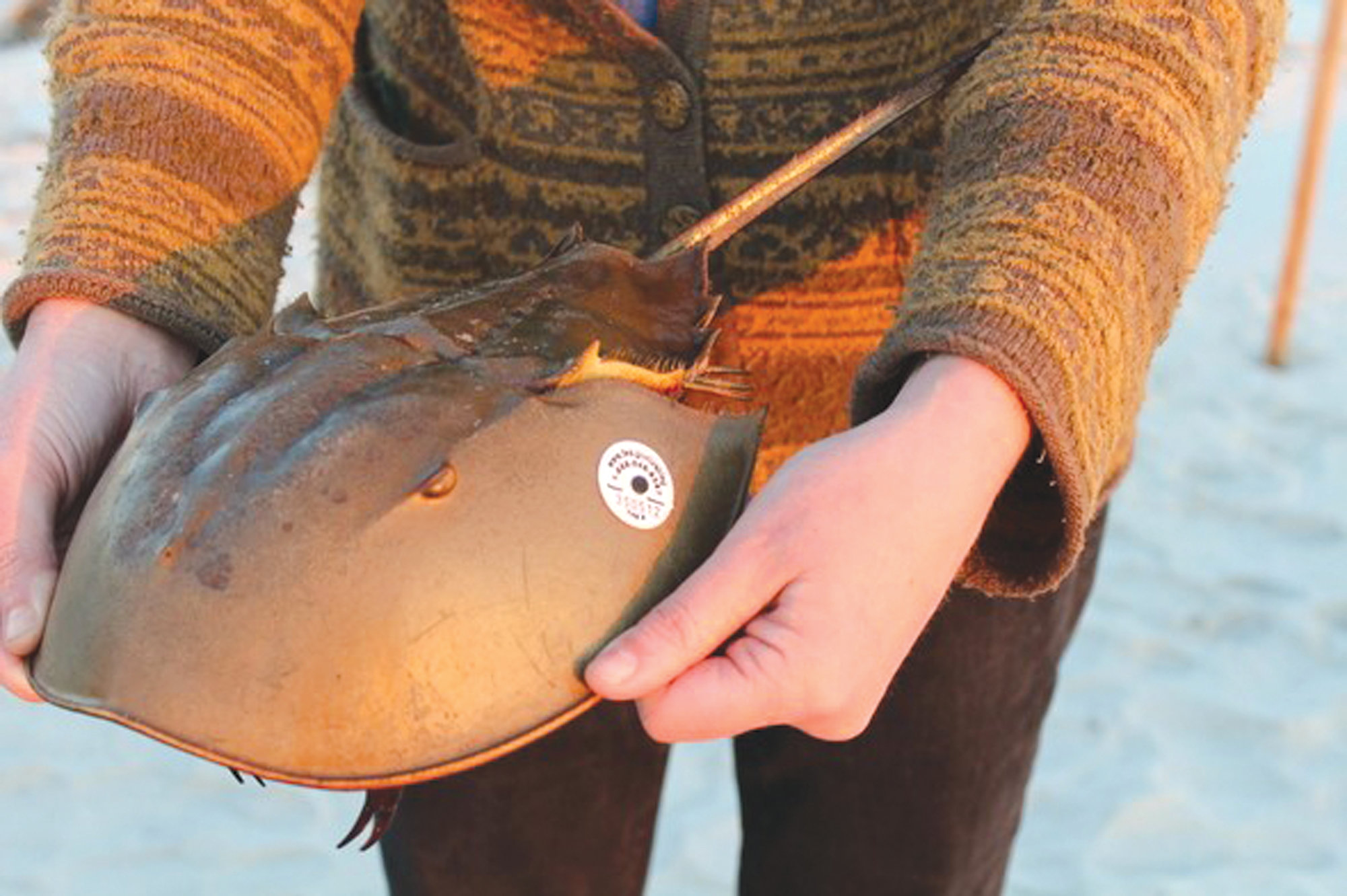 A CES attendee prepares to release a tagged horseshoe crab in 2015.