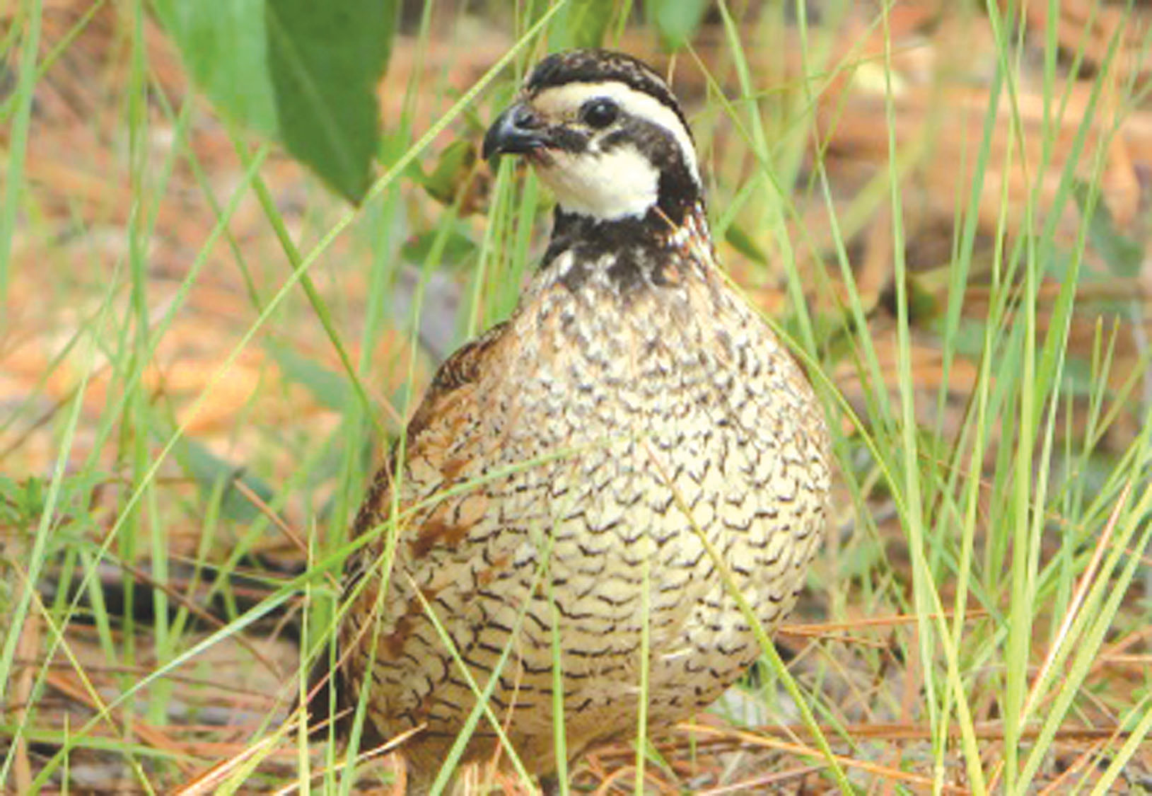 SCDNR photo by Michael Small  Improving habitat for the Prince of Gamebirds will be the topic of the annual Quail Management Seminar on March 7-8.