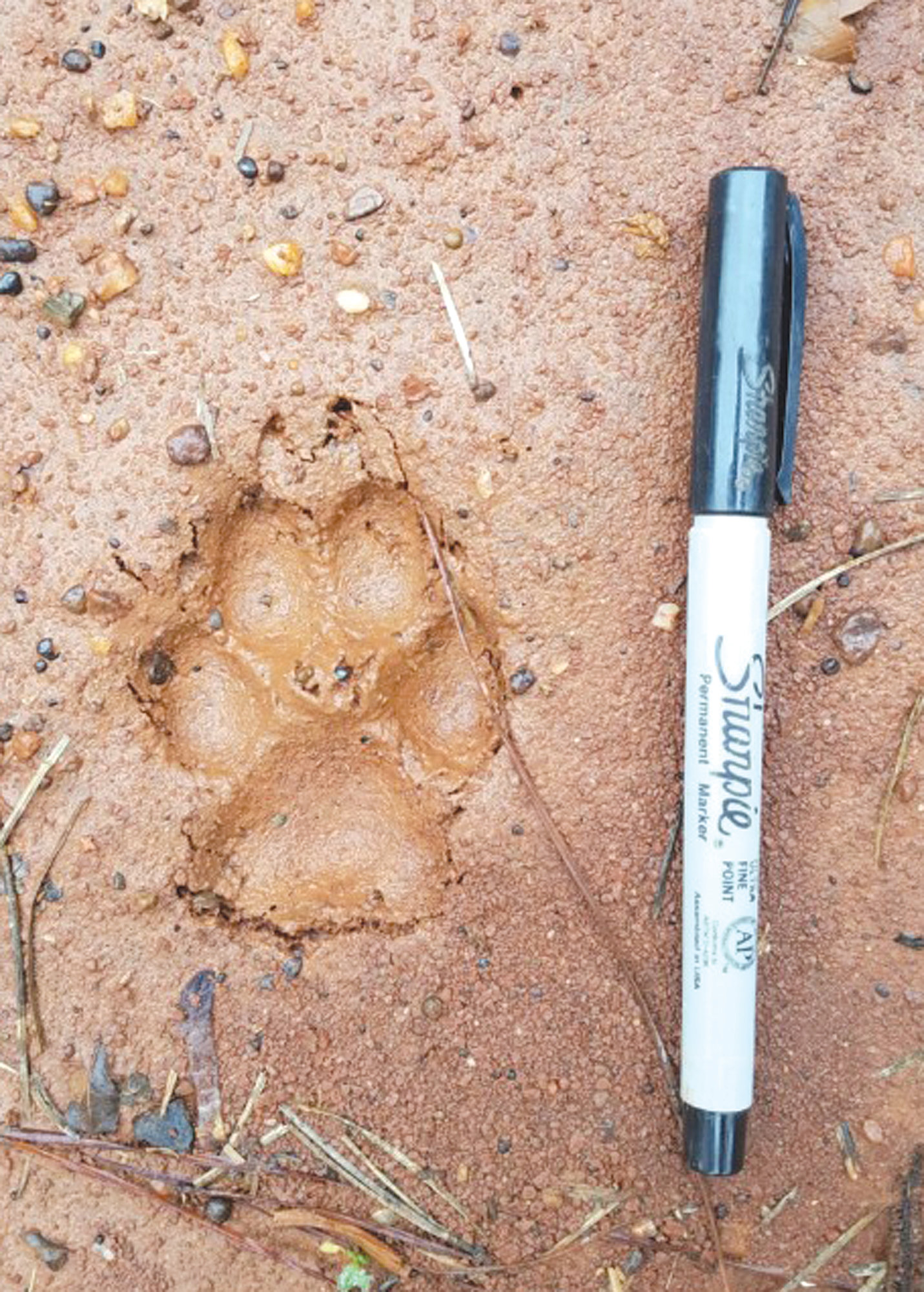 A coyote paw print is seen during Clemson research to better understand how coyotes are affecting deer in South Carolina's Piedmont region.