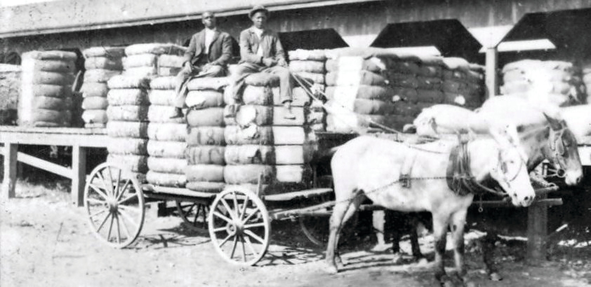 Cotton is loaded for shipment circa 1900.
