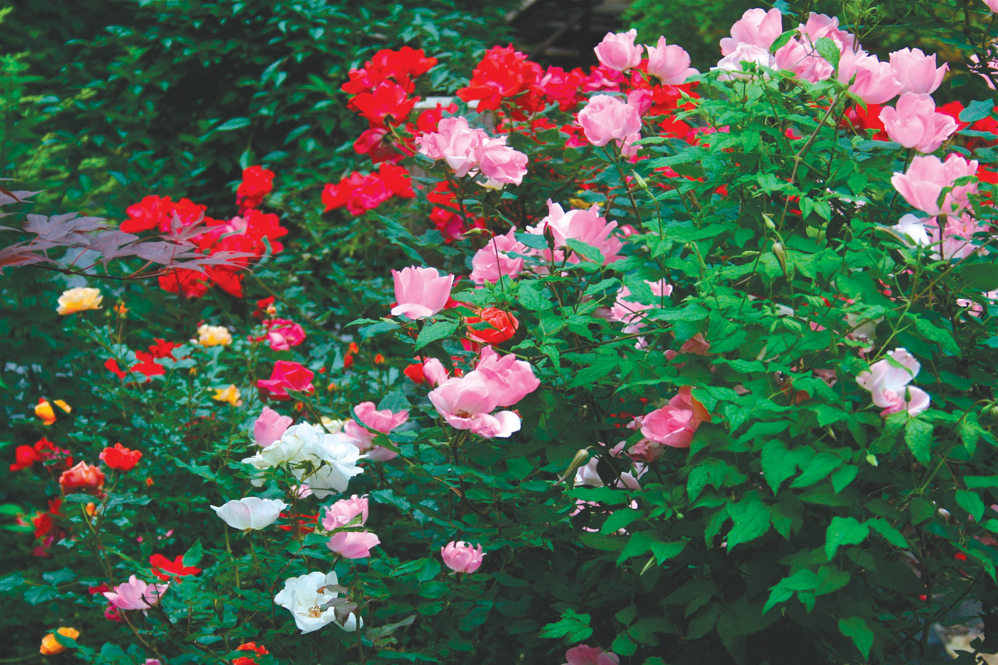 A variety of shrub roses in their third year are seen growing on a mountain property near New Market, Virginia, in 2010. While some rose varieties have earned a reputation for being fussy or difficult to grow, most of the newer shrub rose hybrids are disease resistant, carefree and repeat blooming.