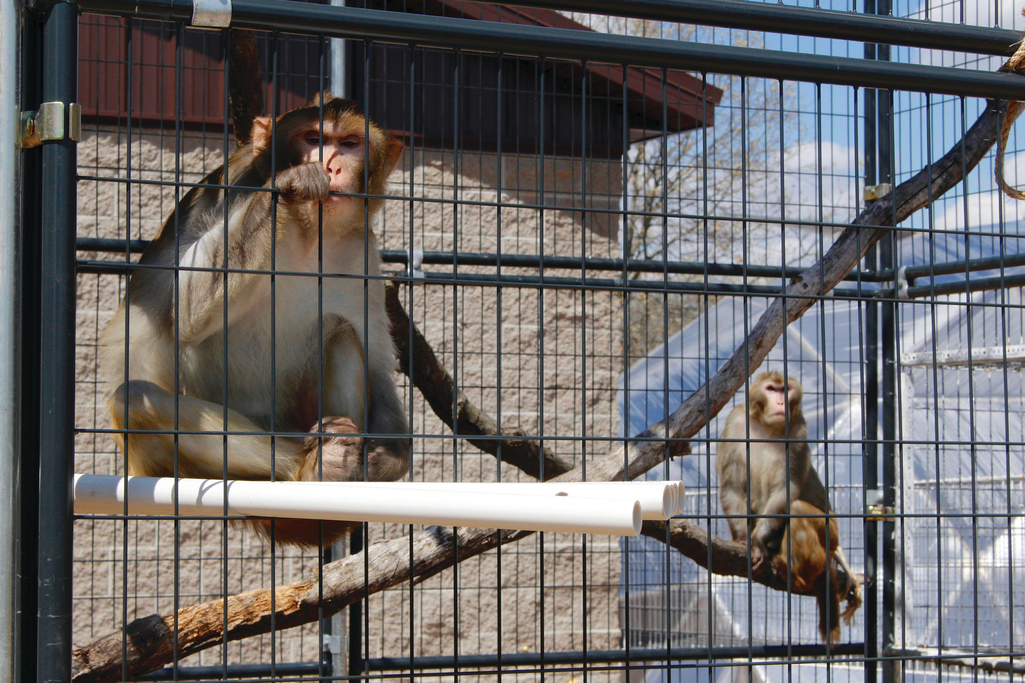 THE ASSOCIATED PRESS  River, left, and Timon, both rhesus macaques, sit in an outdoor enclosure at Primates Inc. in Westfield, Wisconsin. It's a sanctuary that so far has five rhesus macaque monkeys that were previously used in medical research and one vervet monkey that used to be a pet.