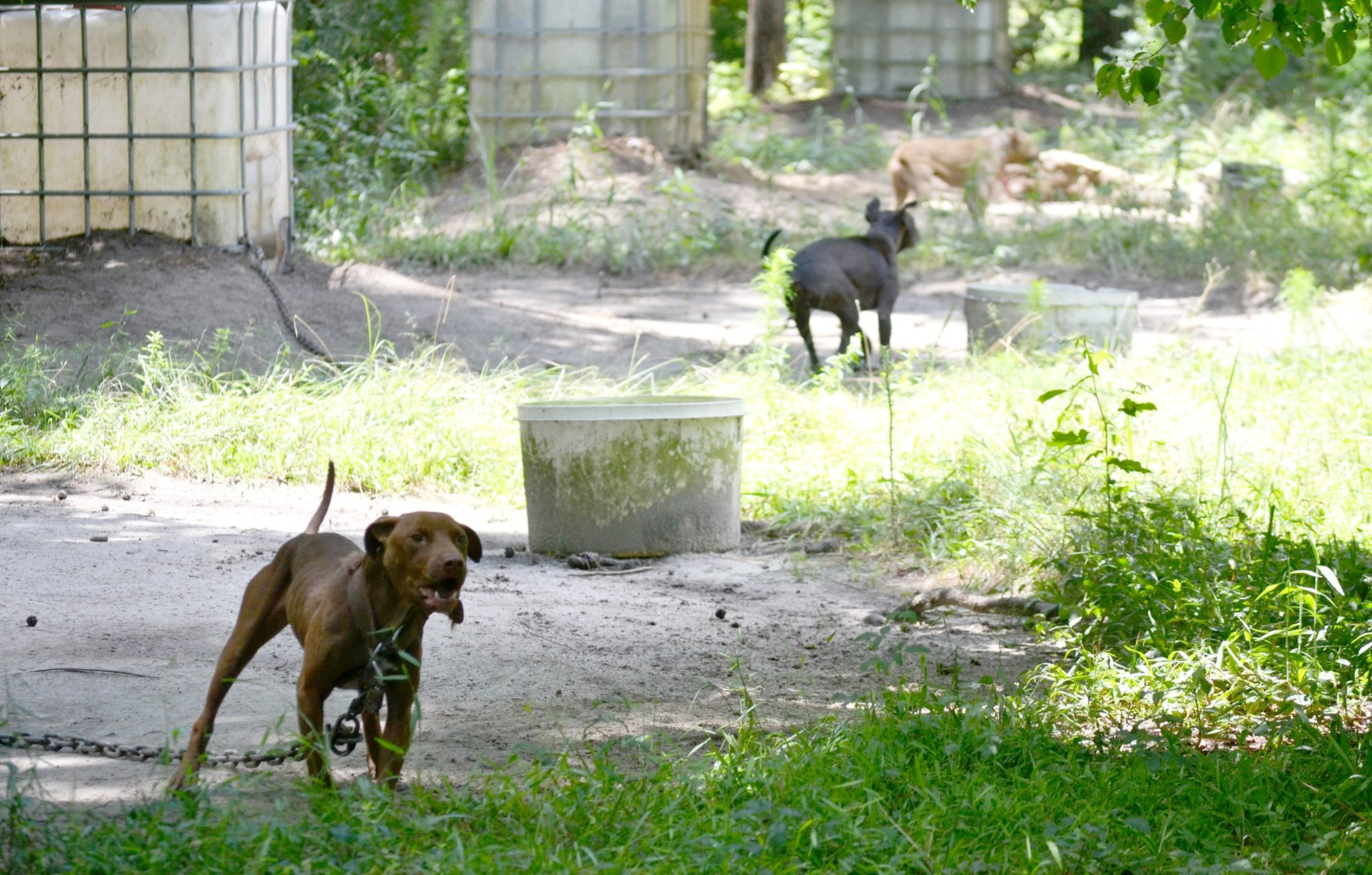 27 pit bulls rescued from dog fighting operation in Sumter
