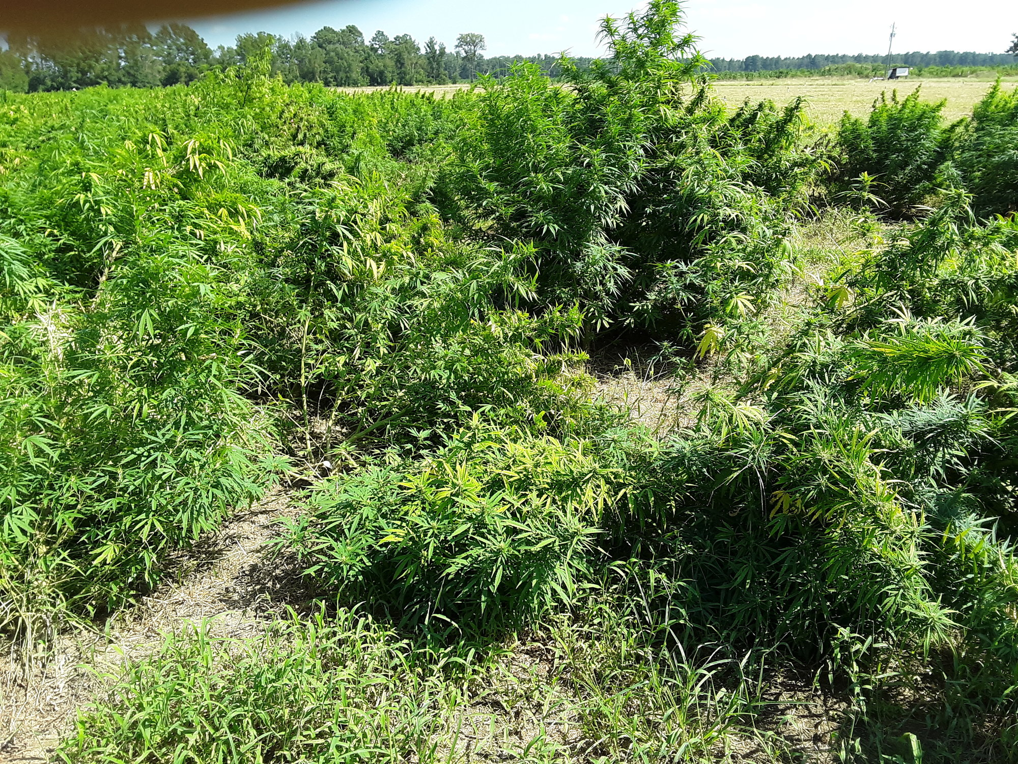 Some hemp plants can be seen pushed over or blown down from even the small gusts from Hurricane Dorian, but Bradford escaped major damage.