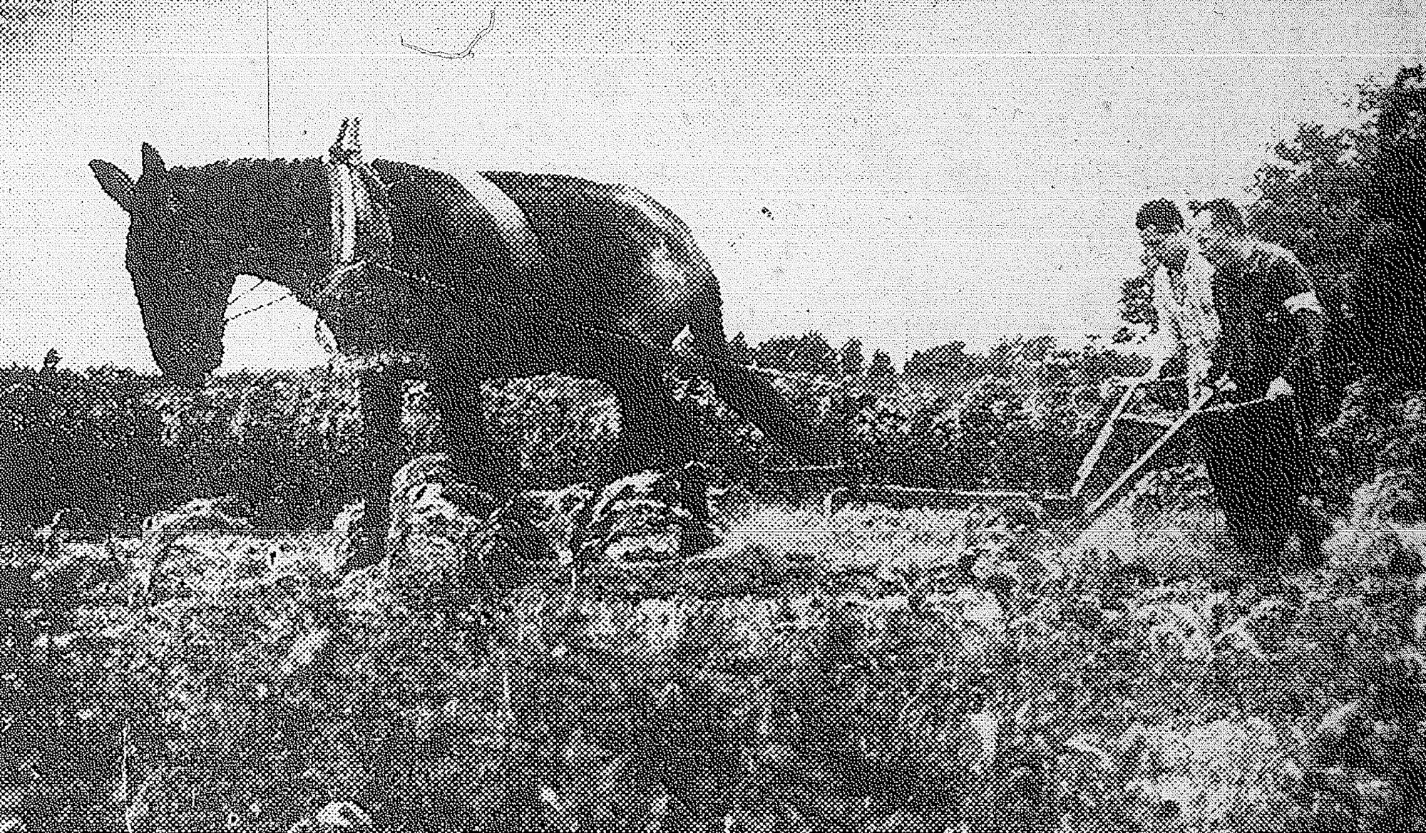 Pete the mule earns his daily oats plowing the victory garden for convalescents at the station hospital. Pvt. Sam Logan of Sumter (wearing arm band) is seen driving the mule while Cpl. Richard B. Robertson takes over the plow in this photo by Shaw Field News.