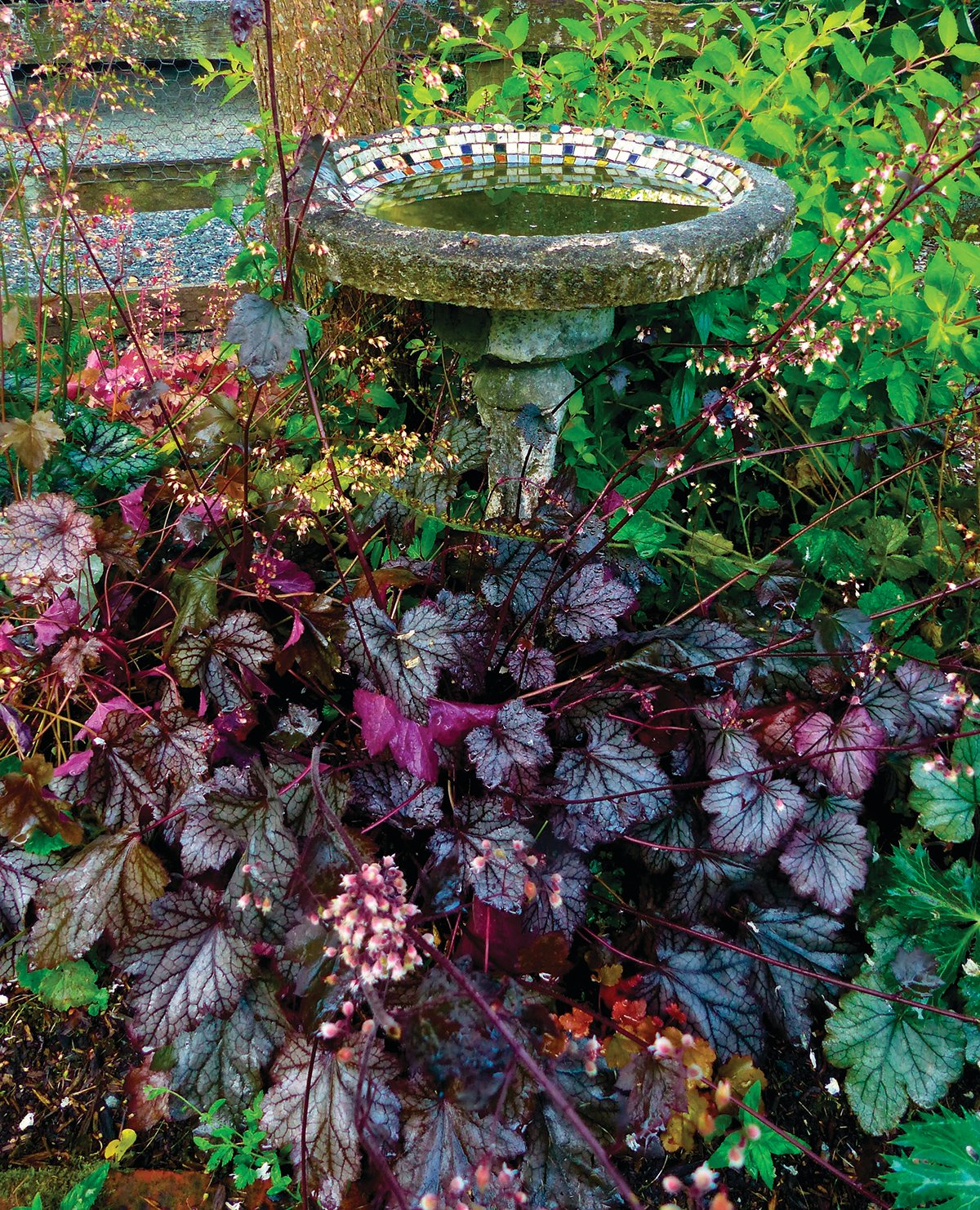 Different varieties of Huecheras grow around a birdbath and split rail fence near Langley, Washington. Plants with red, purple or black leaves are striking additions to any landscape, making them a popular plant trend for the upcoming 2020 gardening season.
