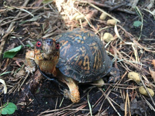 SCDNR photo by Andrew Grosse   Eastern box turtles are just one of the native turtle species subject to possession limits in South Carolina under new regulations issued by the SCDNR that became effective Oct. 19.