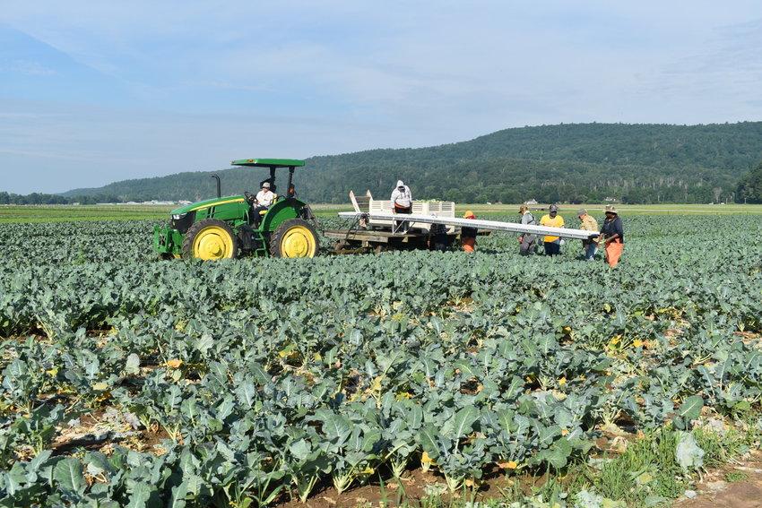 Farm Hub production staff harvest broccoli