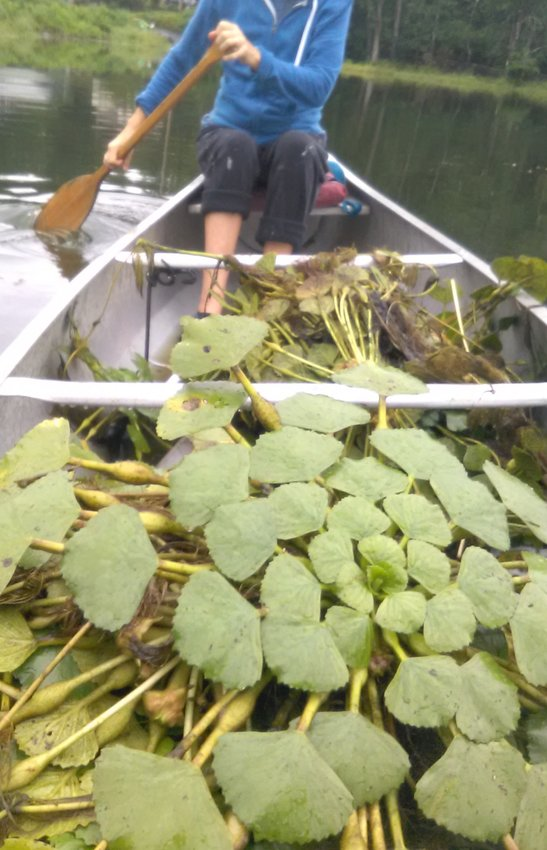 Filling up the boat with invasive weeds, local swimmers haul them away to save 4th lake from Japanese water chestnuts.