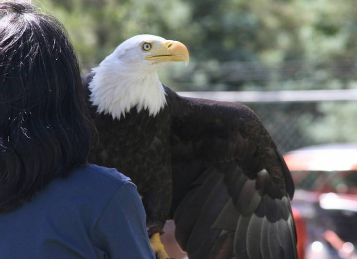 HawkQuest presented a bald eagle named Magissiwa during the Kiowa Street Fair and Car Show.