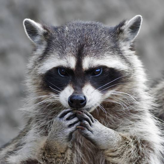 A raccoon found in Highlands Ranch last week is Douglas County's first confirmed case of rabies in a land animal in at least 10 years.