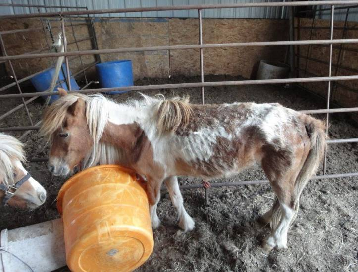 A malnourished miniature horse was one of several ill animals found on property owned by David St. Antoine and Christie O'Rourke in Elbert County in February 2013. The couple received five years of probation. Courtesy photo