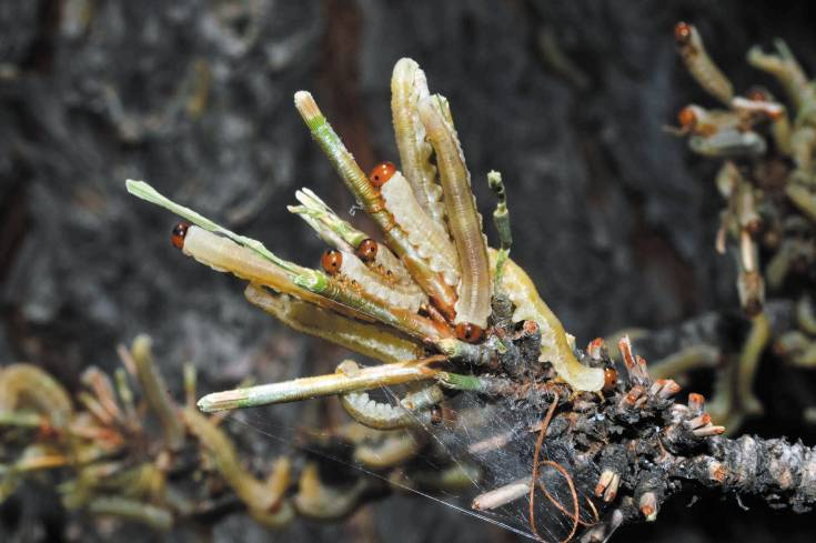 Pine sawfly larvae outbreaks have been found in Elbert and southern Douglas County. Sawflys can defoliate pine trees and potentially kill them.