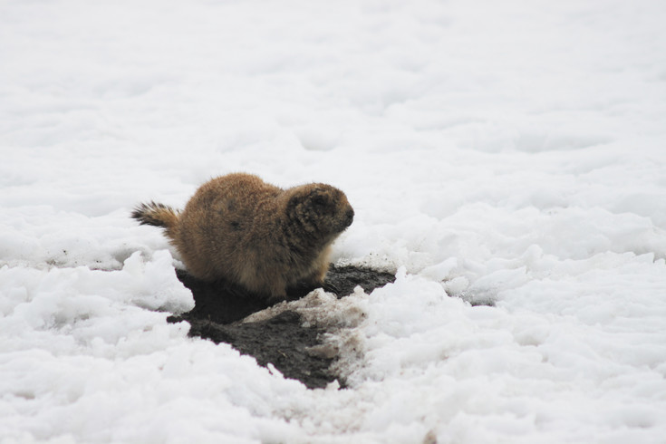 A prairie dog walks in the snow at the Castle Rock Promenade site. Cold weather and snow have made them more difficult to trap.