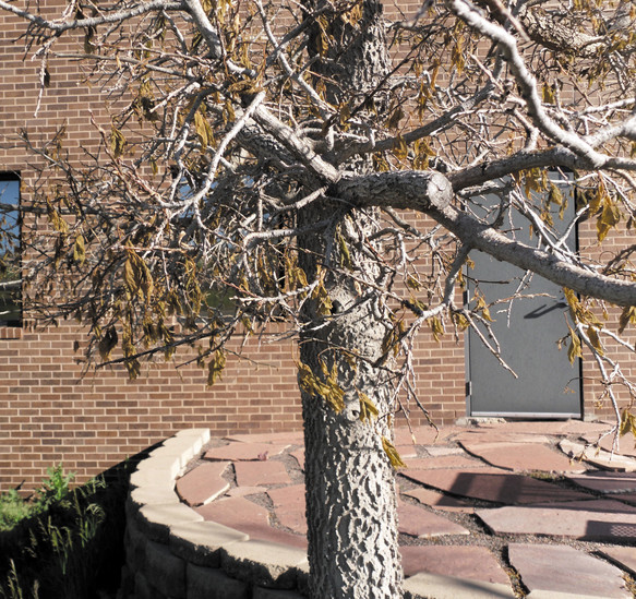 This hackberry outside of the Colorado State University Extension Office in Castle Rock suffered freeze injury after the Mother's Day freeze in May.