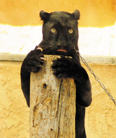 Dexter, who's a black panther, entertains the crowd by clinging to a pole during the endangered cats show at the Colorado Renaissance Festival in Larkspur.