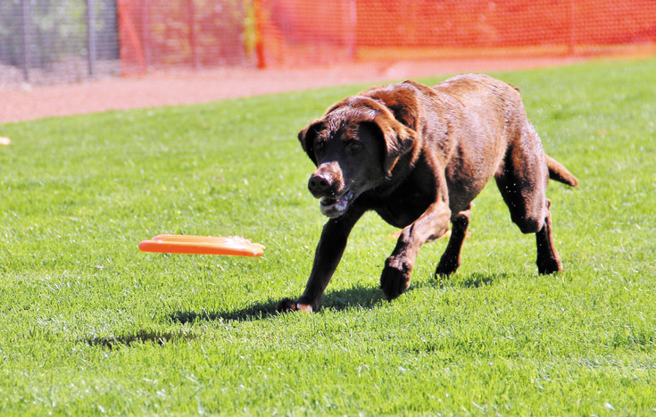 Trigger, a 5-year-old chocolate lab, keeps his eyes on the prize at O'Brien Park during Barker Days Sept. 12.