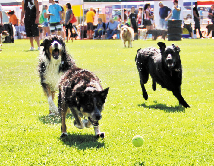 A trio of dogs scurry after a tennis ball at Barker Days.