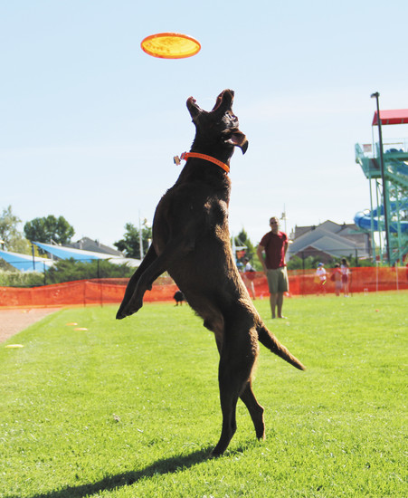 Trigger, a 5-year-old chocolate lab, makes a flying leap at a Frisbee.