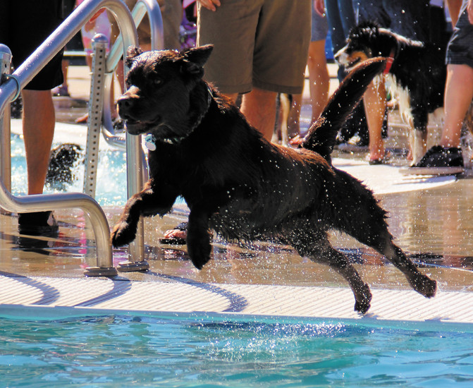 Trigger, a 5-year-old chocolate lab from Larkspur, leaps after a ball at H2O'Brien Pool during Barker Days Sept. 12.