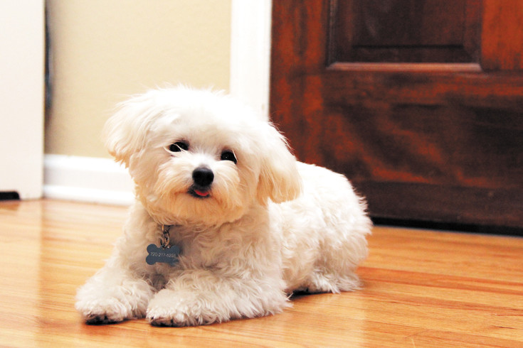 Ollie is a 2.75-pound poodle mix that played for Team Fluff in the soon-to-air Puppy Bowl. He lives in Centennial.